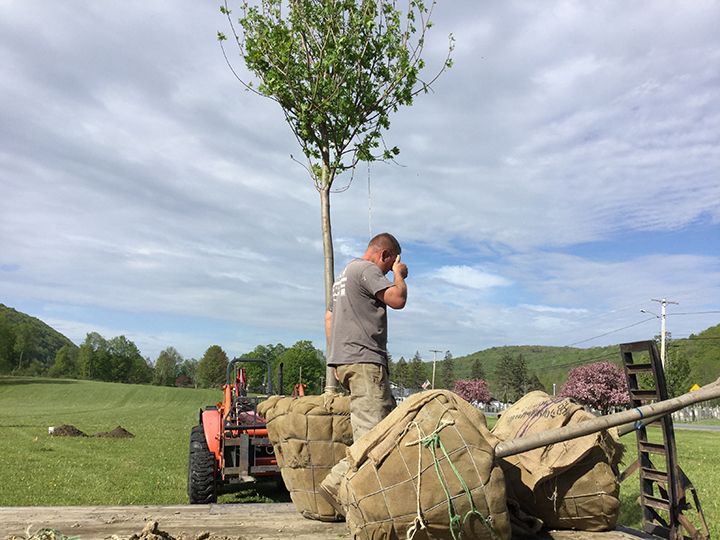 Installing trees on the town green